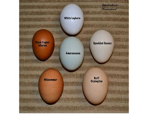 buff orpington egg color speckled sussex egg color search chickens
