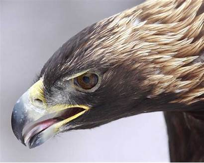Eagle Golden Audubon Field Guide Bird Talon