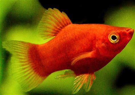 Makanan Ikan Hias Molly jual ikan hias molly merah platy koral whiel s shop
