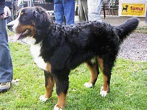 Berner Sennenhund Gewicht : berner sennenhund 7 ~ Markanthonyermac.com Haus und Dekorationen