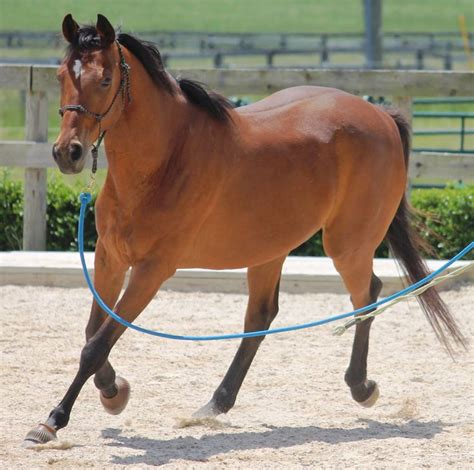 thoroughbred light saddle gelding dressage horse shoes horses suitable jumping adoption front flacco hh trails under requires should brown kept