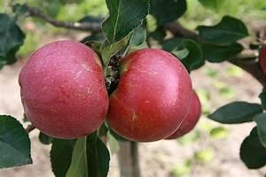 Apfelbäume Schneiden Wann : apfelbaum schneiden ~ Lizthompson.info Haus und Dekorationen