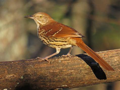 lighthearted limericks brown thrasher backyard bird nerd