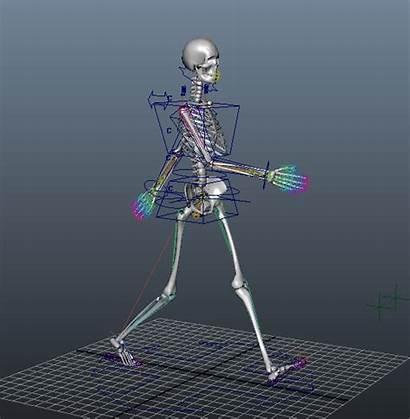 Female Skeleton Human Rig Maya Animated Anatomy
