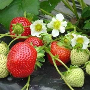 Plant De Fraisier : planter les fraisiers le magazine gamm vert ~ Premium-room.com Idées de Décoration