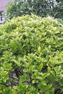 Acheter Des Plantes : euonymus japonicus fusain du japon haies acheter des plantes en ligne ~ Melissatoandfro.com Idées de Décoration