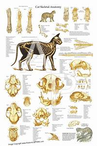 Cat Skeletal Anatomy Laminated Poster
