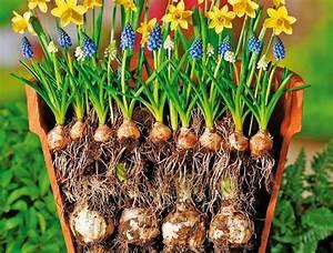 Blumenzwiebeln Richtig Setzen : ber ideen zu blumenzwiebeln auf pinterest tulpe ~ Lizthompson.info Haus und Dekorationen