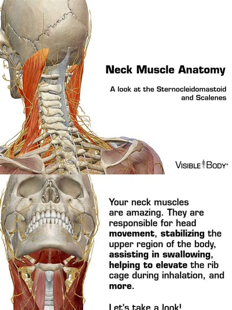 Stomach, saclike expansion of the digestive system, between the esophagus and the small intestine; Neck Muscles 030614   Neck   Anatomical Terms Of Location