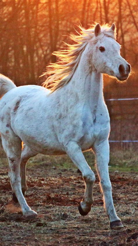 white arabian horse wallpaper mobile desktop background