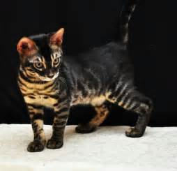 what is a bengal cat charcoal bengal cats what is a charcoal bengal cat