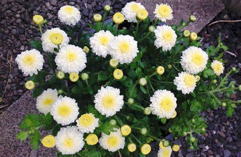 will mums bloom wshg net garden chrysanthemums colorful hardy flowers featured the garden november 9