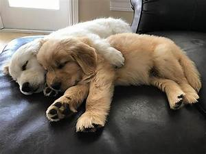 13 pictures of golden retriever puppies that show just how