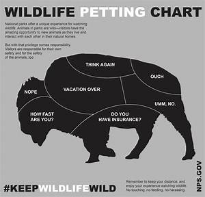 How To Pet A Bison