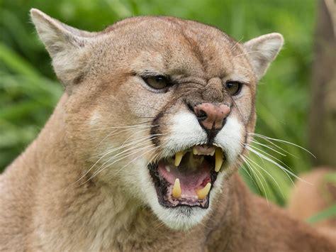 mountain lion attacks  year  boy  denver area