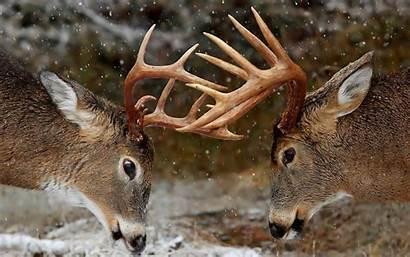 Deer Fight Horns Wallpaperup Wallpapers Rivalry