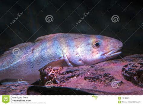 Atlantic Cod, Gadus Morhua, Portrait,close Up Stock Image - Image of ocean, greenland: 110483929