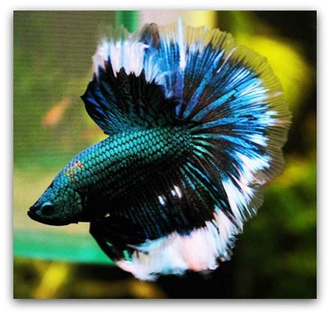betta fish span pet fish with longest life span betta fish life expectancy the pet blog lady celebrating our