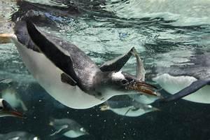 Gentoo Penguin | Animal Wildlife
