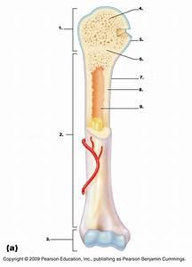 Diagram Of A Bone : imagequiz anatomy of long bone ~ A.2002-acura-tl-radio.info Haus und Dekorationen