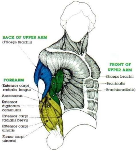 Shoulder anatomy images shoulder muscle tissues anatomy actions diagram. muscle upper arm color diagram - Google Search | Best biceps, Bicep muscle, Muscle diagram