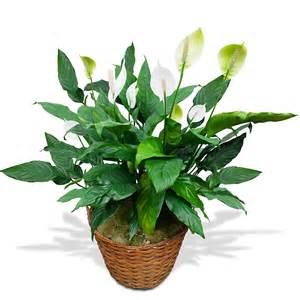 Plante Verte Chambre by Plante Et Fleurs Homeandgarden