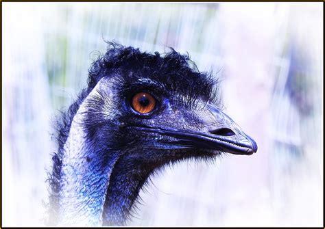 Emu head by fotobee   ePHOTOzine