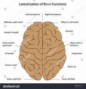 Functions Left Right Hemispheres Brain Stock Vector ...