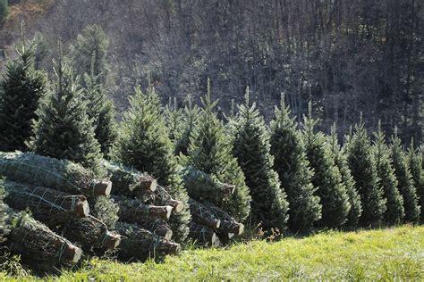 fraser fir trees nc christmas trees