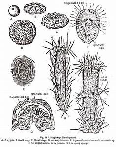 Sponges  Description And Structure