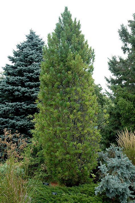 columnar swiss stone pine pinus cembra stricta