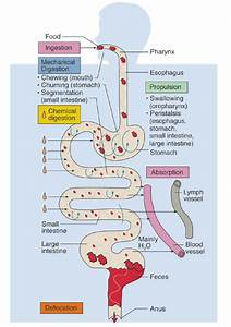 Chapter 26 Digestive System