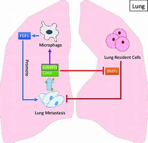 32 Lung Cell Diagram