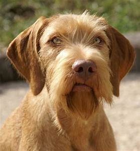 Cute Wirehaired Vizsla dog photo and wallpaper. Beautiful ...