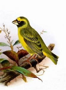 Black-faced canary - Wikipedia  Black