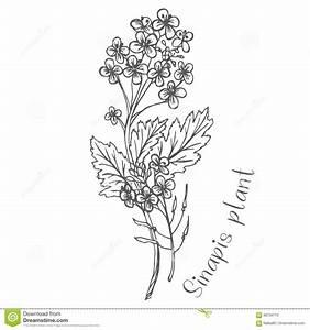 Flowers Of The Handkerchief Stock Vector - Image: 88734770