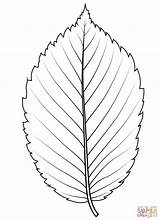 Coloring Leaf Elm Drawing Printable Template Templates sketch template