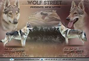 Konrad Wolf Str 60 : puppies for sale czechoslovakian wolfdog jelena dogshows ~ Watch28wear.com Haus und Dekorationen