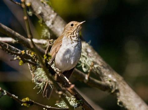 hermit thrush  winter pacific nw birder
