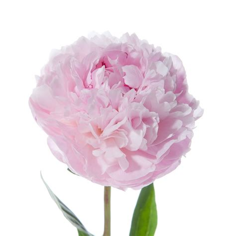 light pink flowers light pink peonies peonies types of flowers flower muse