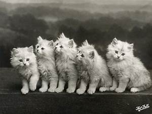 Row of Five Adorable White Fluffy Chinchilla Kittens ...