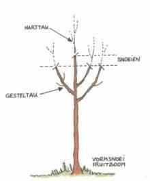 Perenboom snoeien voorbeeld