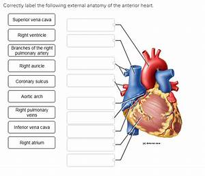31 Label This Anterior View Of The Human Heart
