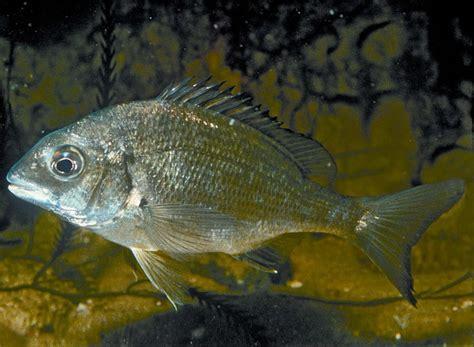 native fish guide  coastal victoria