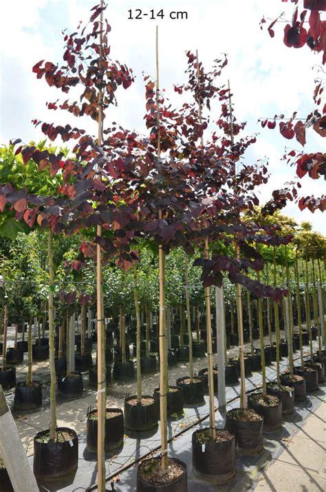 Klein Bleibende Bäume klein bleibende b 228 ume pflanzen