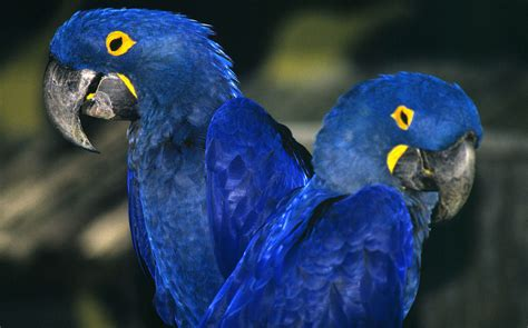 10,000 Birds Protecting The Hyacinth Macaw And The Cerrado