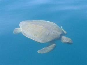 The gallery for --> Green Sea Turtle On Beach