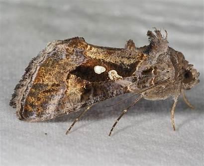 Chrysodeixis Moths September