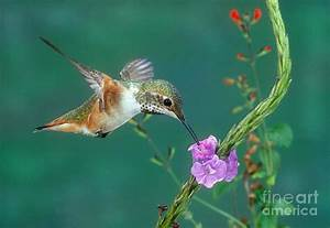 Allens Hummingbird Photograph by Anthony Mercieca
