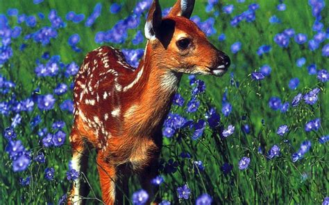 animals deer fawn blue flowers baby animals